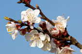 Blooming apricot 2 — Stock Photo