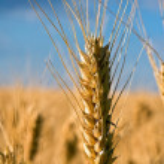 Closeup of wheatear — Stock Photo #11650848