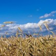 Wheatland with clouds — Stock Photo