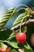 Cherry fruit — Stock Photo