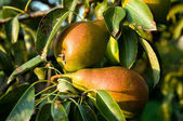 Pears with diseased leaves — Stock Photo