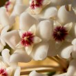 Closeup of Hoya carnosa — Stockfoto