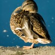 Relaxing mallard duck — Stock Photo