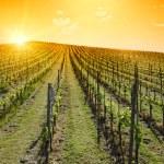 Idyllic Sunset over vineyard hill — Stock Photo