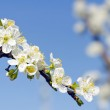 White apple blossom tree against a blue sky — Stock Photo #11083969