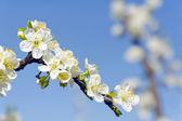 White apple blossom tree against a blue sky — Stock Photo