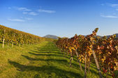 Vineyard landscape in autumn — Foto Stock