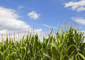 Fresh corn field with maize against blue sky — Stock Photo