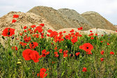 Deserto e flores 6 — Foto Stock