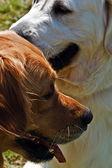 几个犬 7 — 图库照片