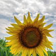 Royalty-Free Stock Photo: Sunflower 3