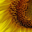 Sunflower 4 - Stock Photo