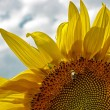 Foto Stock: Sunflower 6