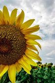 Sonnenblume 1 — Stockfoto
