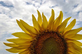 Sunflower 2 — Stock Photo