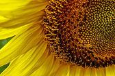 Slunečnice 4 — Stock fotografie
