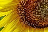 Sunflower 4 — Stock Photo