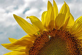 Sonnenblume 6 — Stockfoto