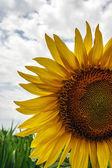 Sunflower 7 — Stock Photo