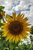 Sunflower 9 — Stock Photo
