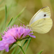 Постер, плакат: Cabbage Butterfly