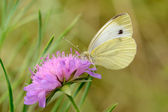 Cabbage Butterfly — Stock Photo