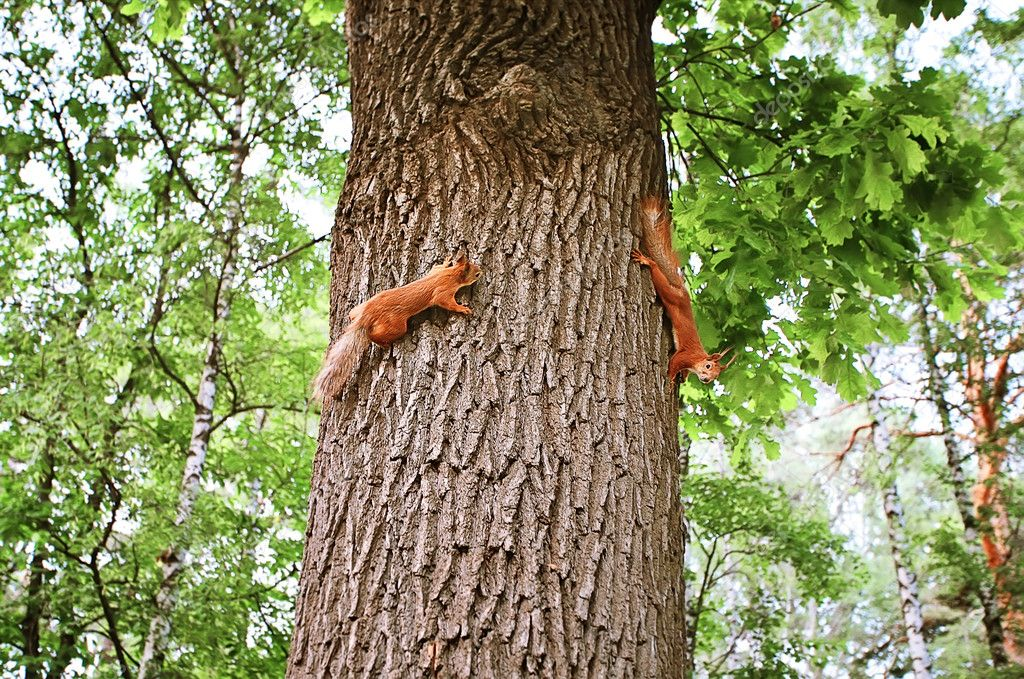 Two squirrels on a tree in a park — Stock Photo #10915483