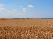 View at wheat — Stock Photo