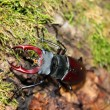 Stagbeetle — Stock Photo
