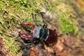 Stagbeetle — Foto de Stock