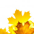 图库照片: Fall maple leaves