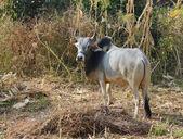 Sığır hindistan — Stok fotoğraf