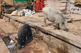 Pigs in India — Стоковое фото