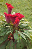 Celosia flower in India — Stock Photo