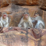 Rhesus macaques — Stock Photo #11511606