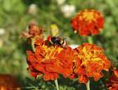 Red flowers and bumblebee — Stock Photo