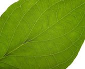 Green macro leaf — Stock Photo