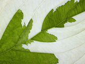 Eroded leaf detail — Stock Photo