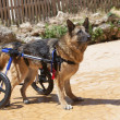 Dog wheelchair — Stock Photo #11365631