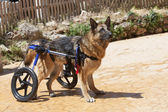 Dog wheelchair — Stock Photo