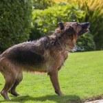 Dog shaking — Stock Photo
