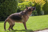 Dog shaking — Stockfoto
