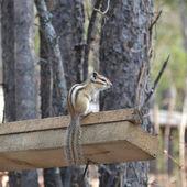 Chipmunk mangia semi di cedro — Foto Stock