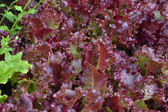 Fresh red lettuce salad closeup — Stock Photo