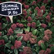 Skimmia winter hard — Stock Photo