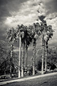 Palm unter den bewölkten himmel — Stockfoto