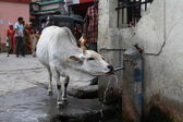 The sacred Indian cow drinks water from the tap — Stock Photo