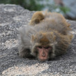 Stock Photo: Sorrowful Monkey lies on stone