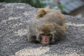 Sorrowful Monkey lies on stone — Stock Photo