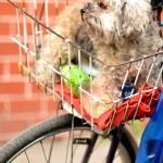 Dog in basket bike — Stock Photo